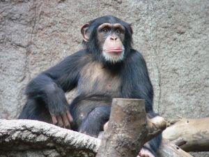 800px-Schimpanse_zoo-leipig