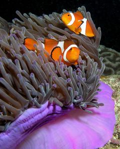 479px-Anemone_purple_anemonefish