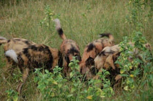 wild dogs 4