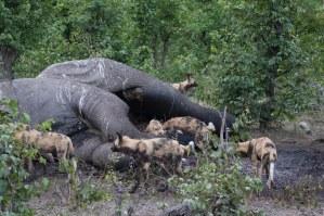 wild dogs elephant