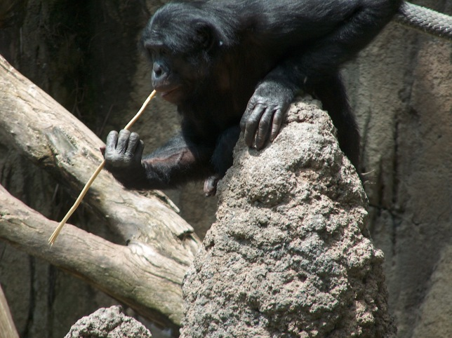 a_bonobo_at_the_san_diego_zoo_22fishing22_for_termites