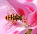 440px-computerhotline_-_syrphidae_sp-_by_3