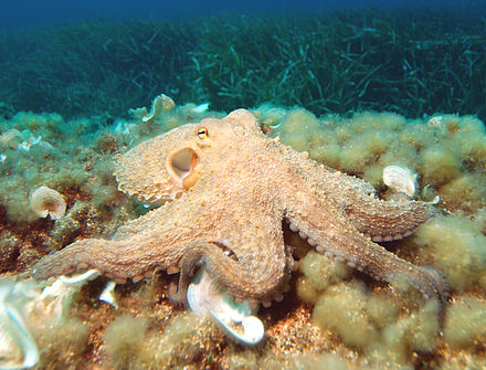 440px-octopus2
