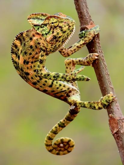 indian_chameleon_chamaeleo_zeylanicus_photograph_by_shantanu_kuveskar