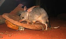 220px-bilby_at_sydney_wildlife_world