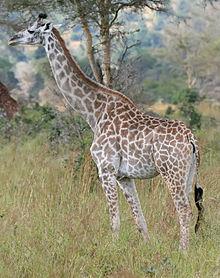 220px-Giraffe_Mikumi_National_Park.jpg