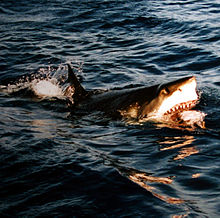 220px-surfacing_great_white_shark