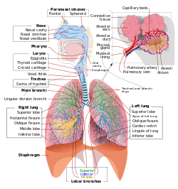 The Difference Between The Respiratory Systems Of Humans