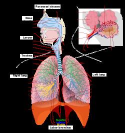 respiratory_system_complete_en-svg