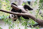 xiao_liwu_im_san_diego_zoo_-_foto_3-jpeg