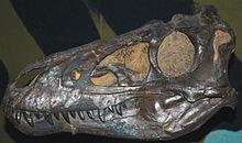 Nanotyrannus_lancensis_skull