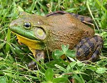 220px-North-American-bullfrog1