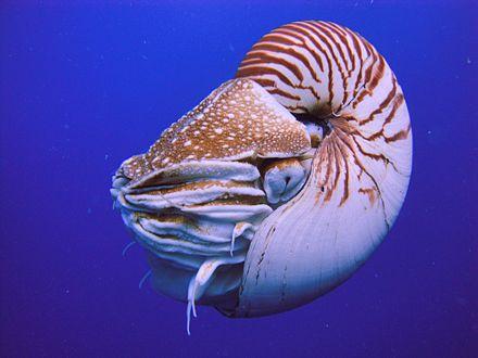 Nautilus_Palau.JPG