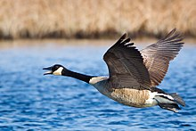 220px-Branta_canadensis_-near_Oceanville,_New_Jersey,_USA_-flying-8