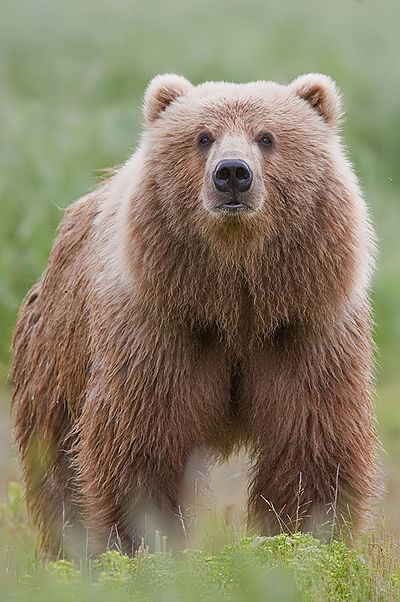 2010-brown-bear.jpg