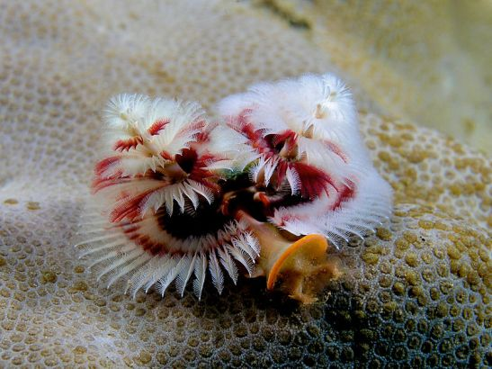 800px-Spirobranchus_giganteus_(Red_and_white_christmas_tree_worm).jpg