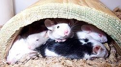 Fancy_mice.jpg