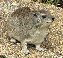 220px-Yellow-spotted_Rock_Hyrax