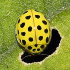 140px-Psyllobora.vigintiduopunctata.6920.jpg