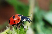 220px-Coccinella_magnifica01.jpg