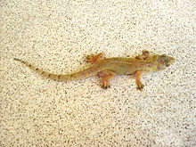 220px-Hemidactylus_mabouia_(Dominica).jpg