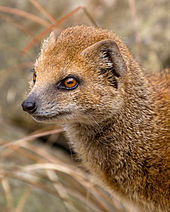 Yellow_Mongoose_1_(6964624854).jpg