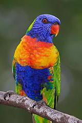 260px-Rainbow_lorikeet.jpg