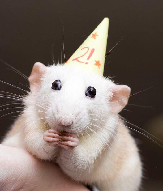 bf3afd9576212371897e10694c078855-fancy-rat-cute-rats